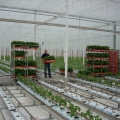 planten worden verdeeld over de kas